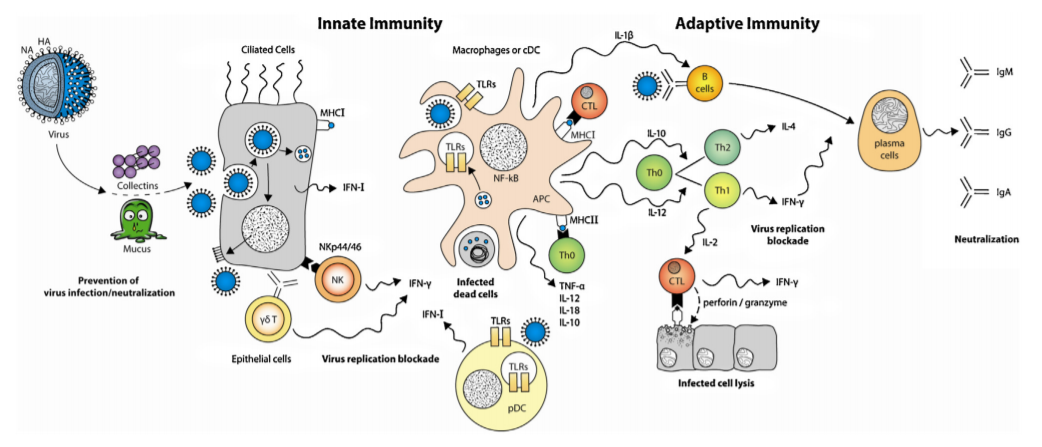 Innate Immunity and Adaptive Immunity